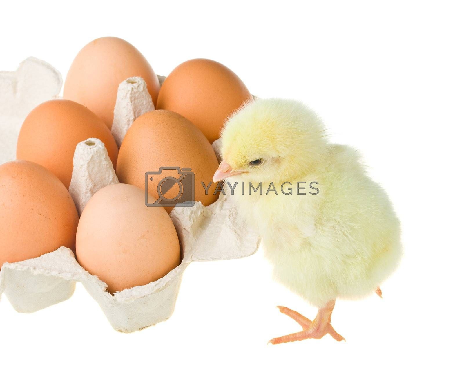 chick waiting brothers from eggs, isolated on white