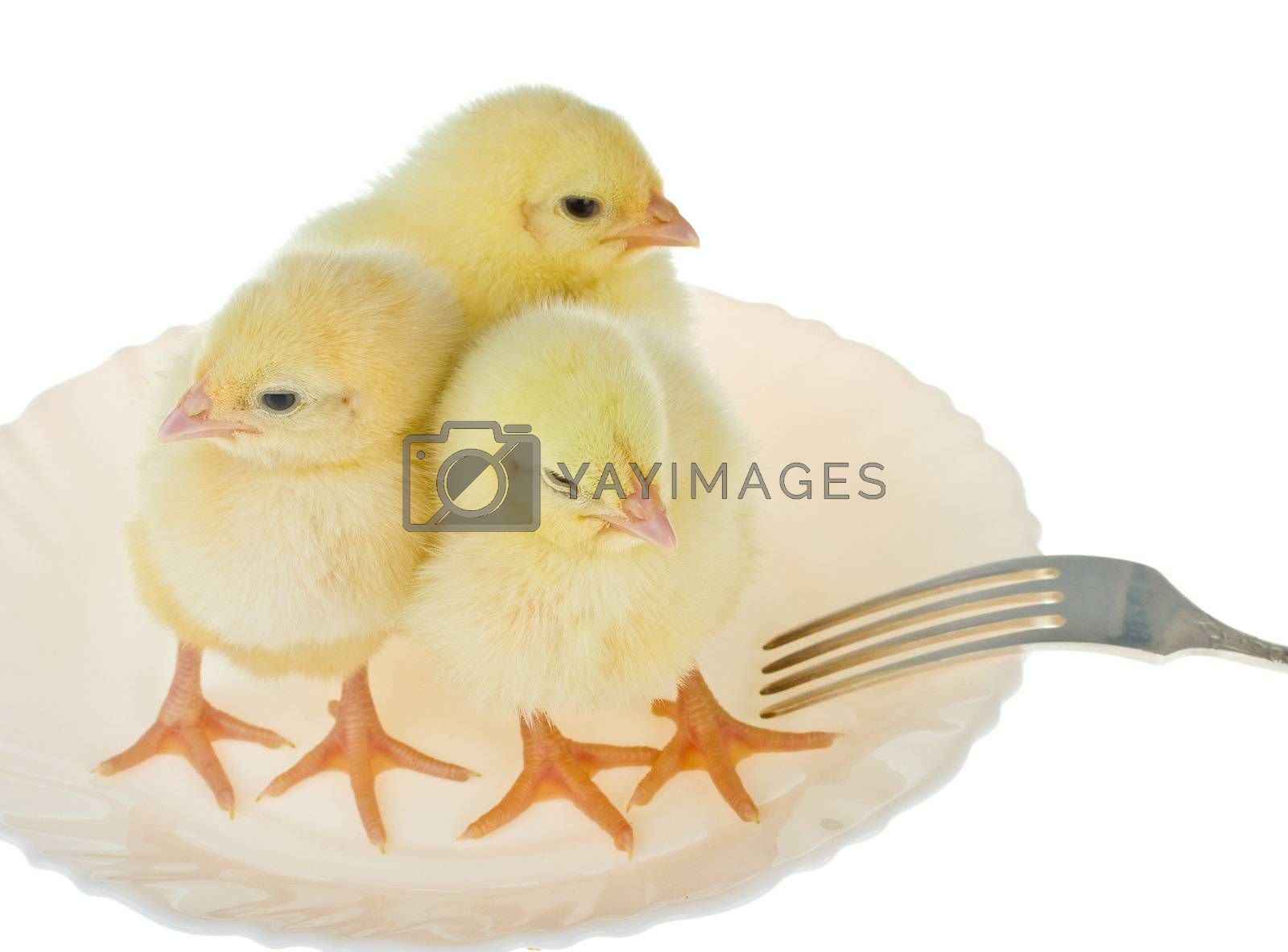 three newborn chicks as dinner, isolated on white
