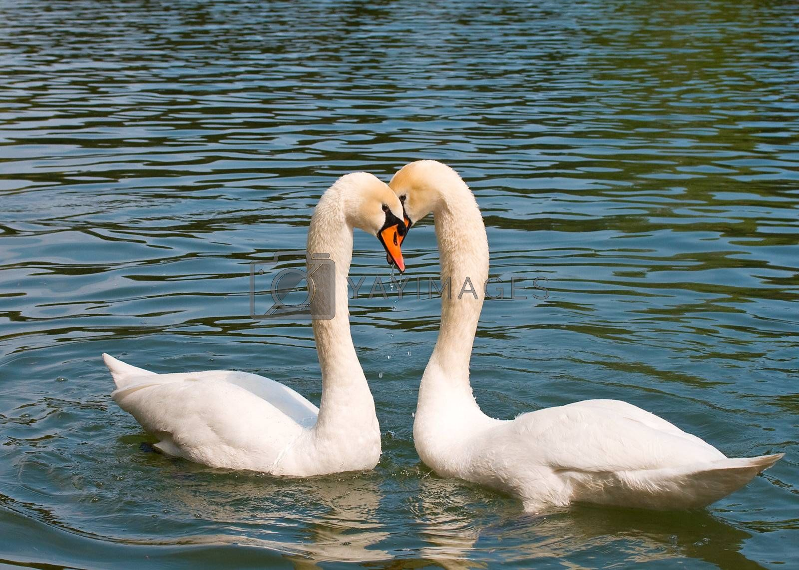 two white swans in love swimming on lake