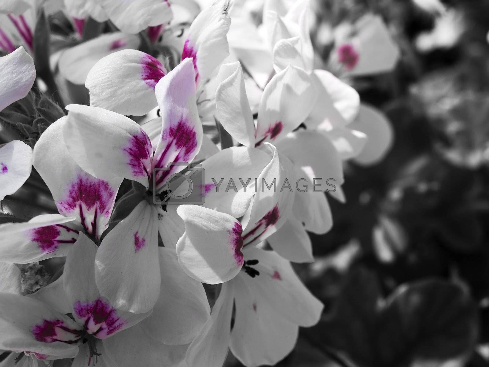 White flowers speckled with deep red and vio;et ideal for romantic backdrops