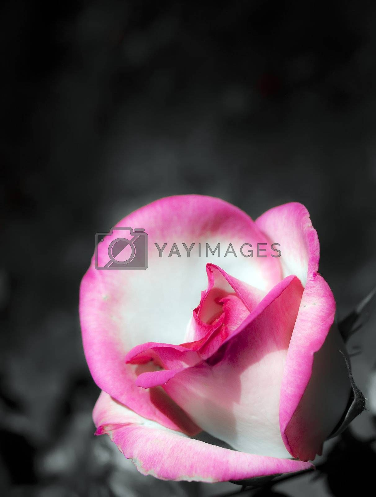 A beautiful close up of a rose over dark background