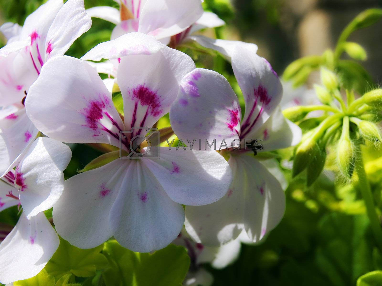 Beautiful white flower speckled with deep magenta markings