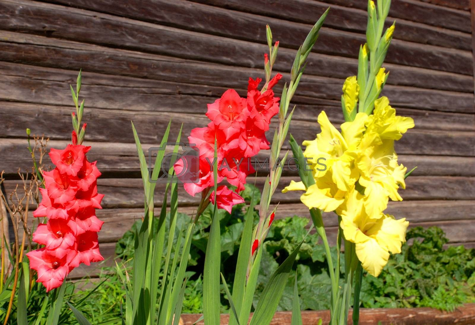 Multicolored gladioli - the traditional old village flower