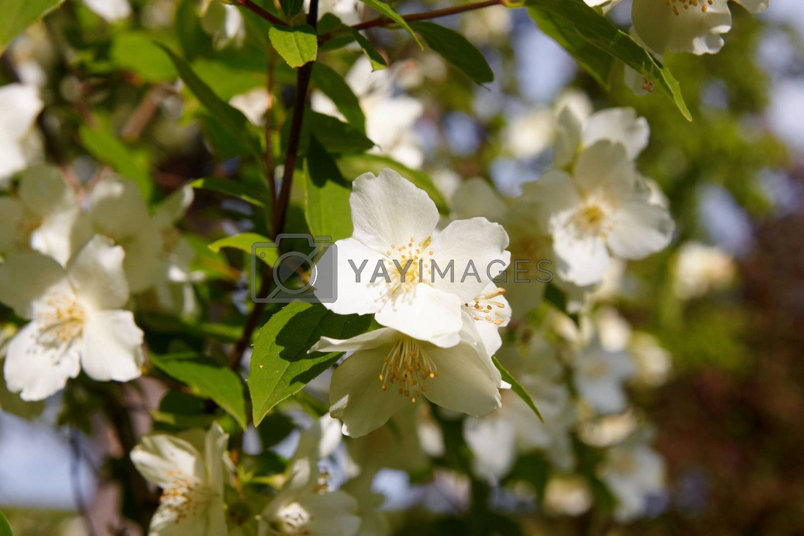 Seasonal beauty - blossom jasmine flower