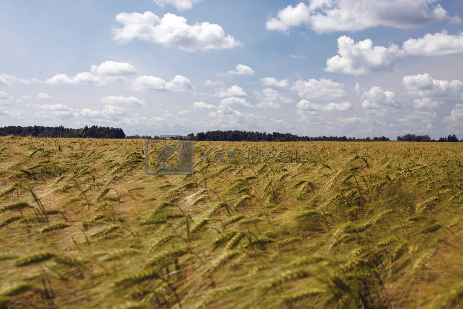 Barley Field, photographed at sunny day in Lithuania