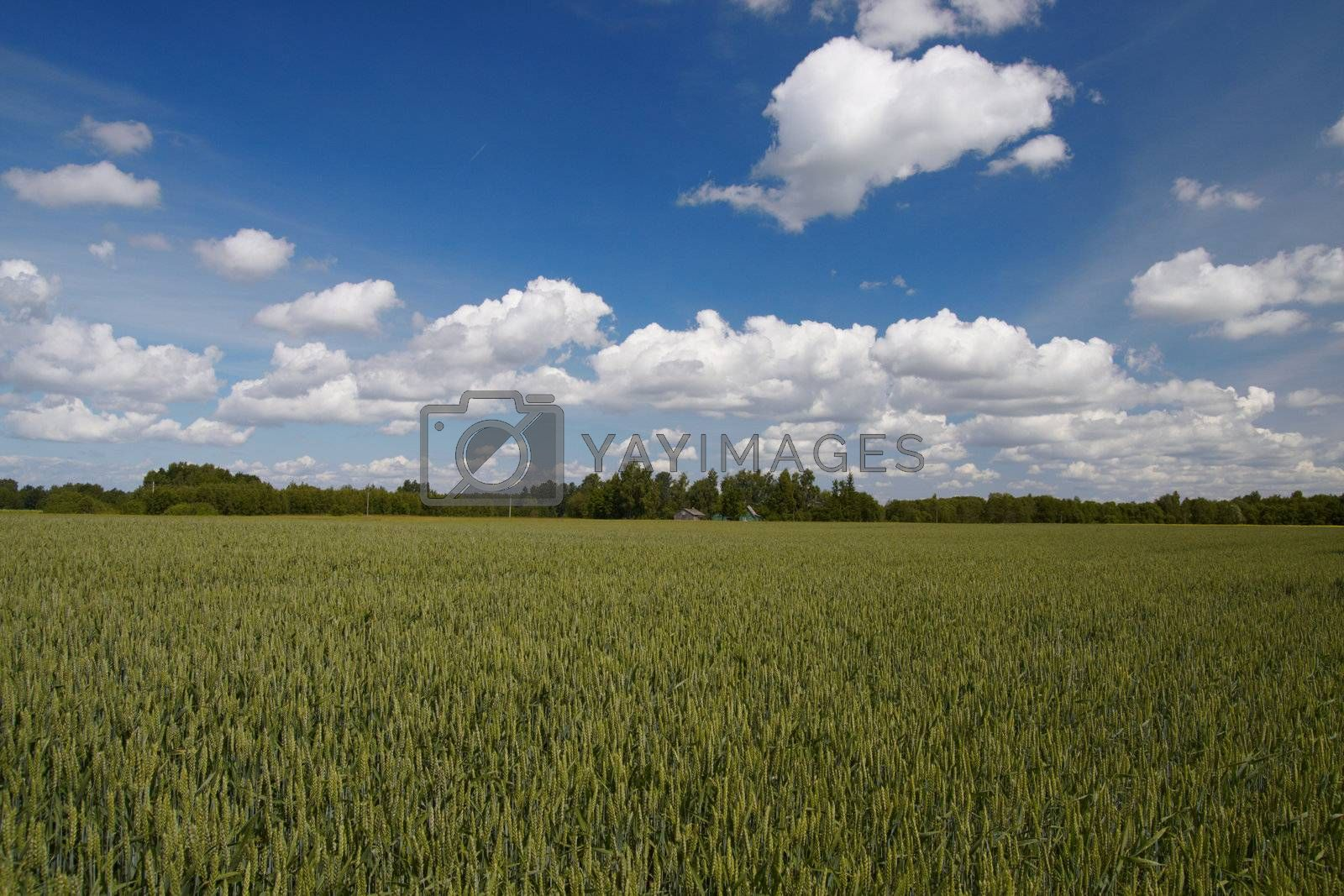 green wheat field, blue sky and clouds