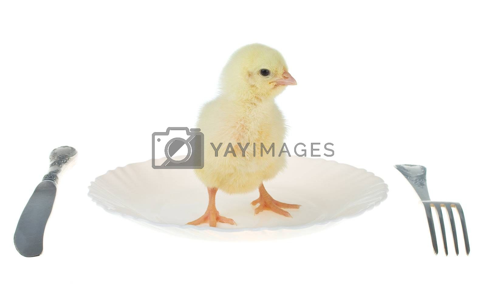 newborn chick as dinner, isolated on white