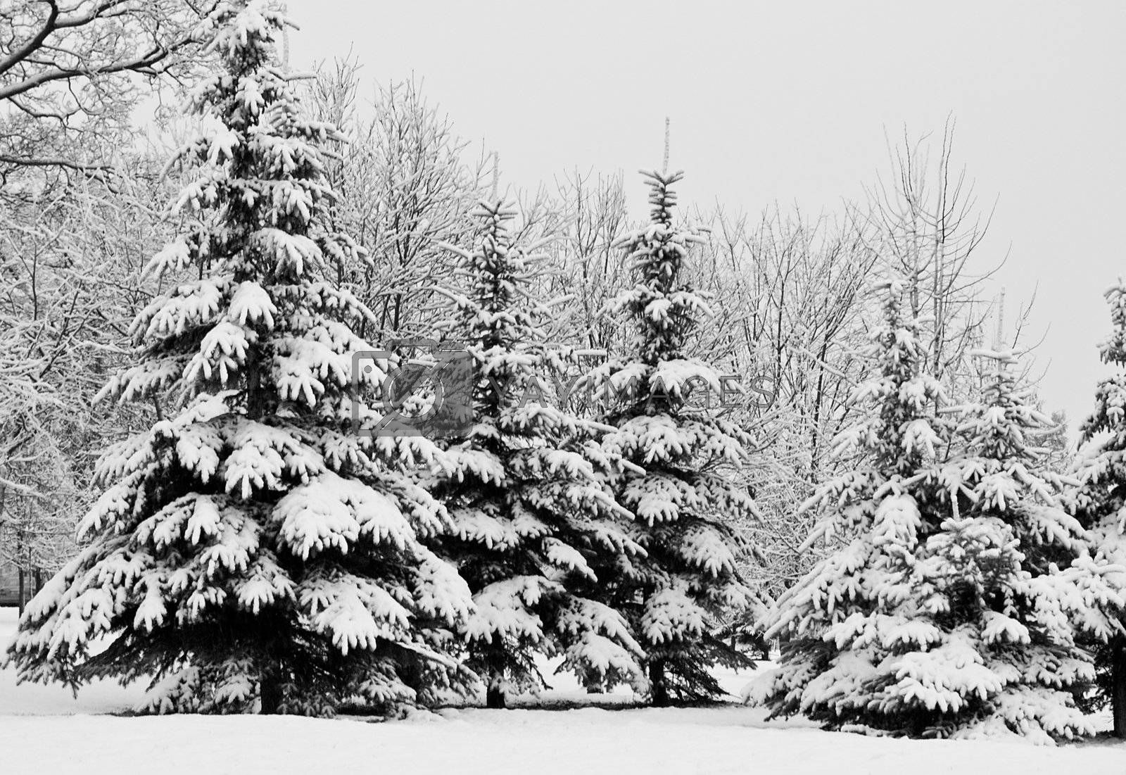 winter fir trees covered with snow