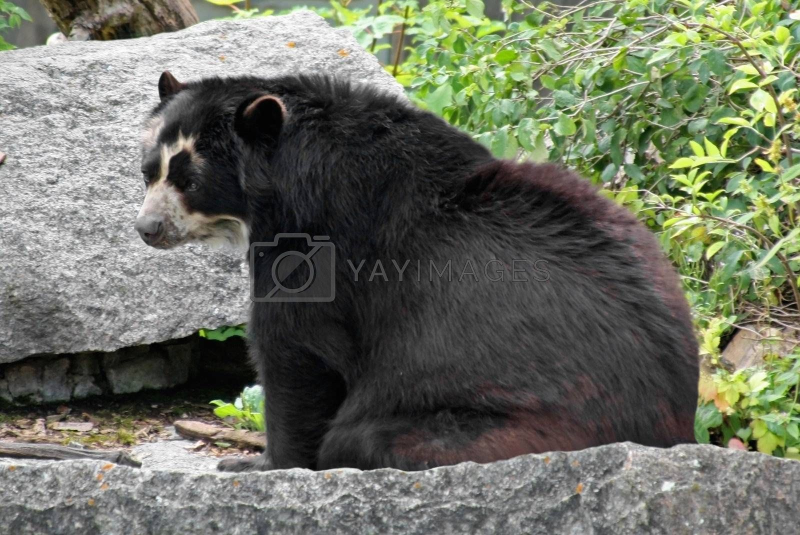 This image shows a portrait from a Andean bear