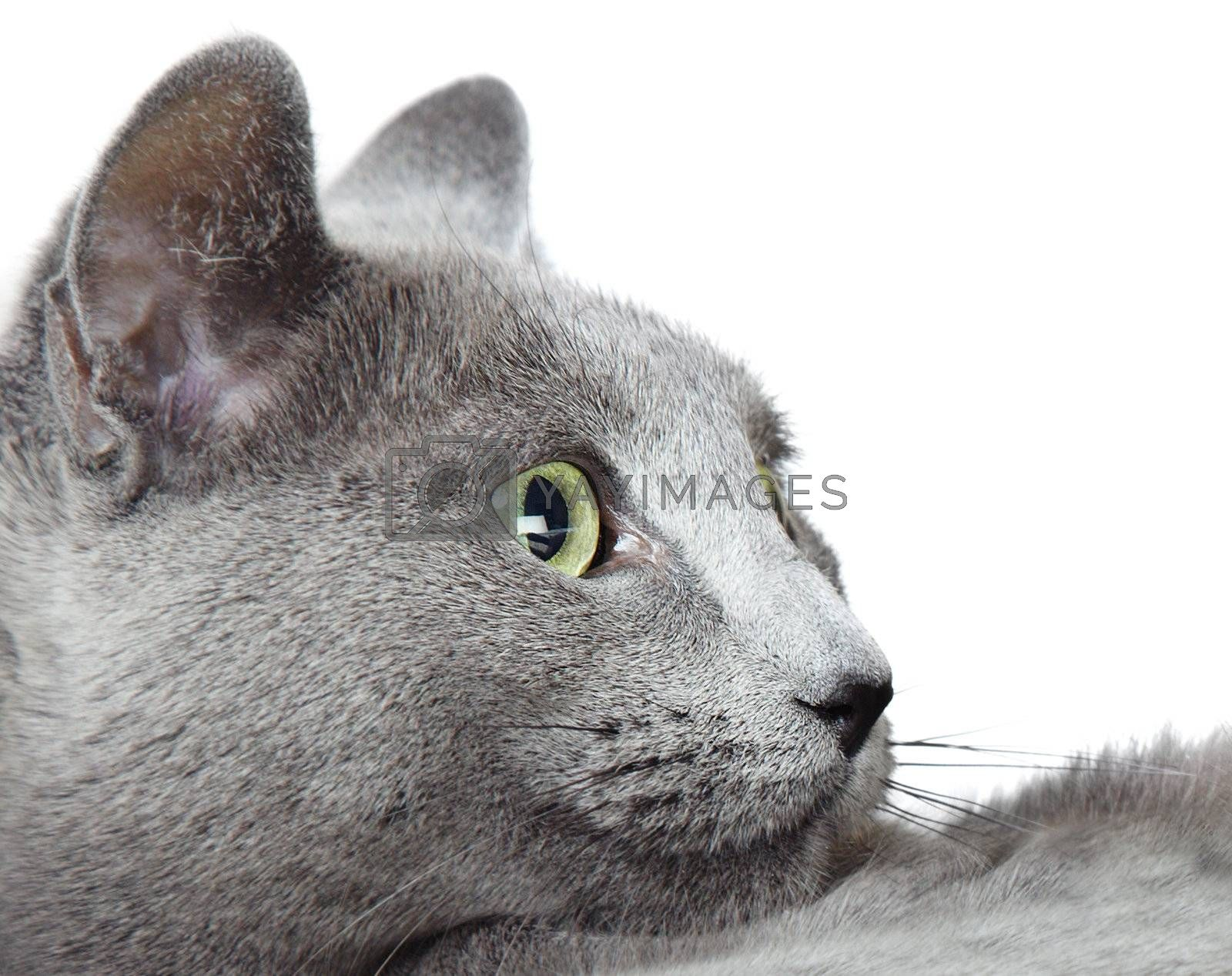 Close-up photo of the Russian blue cat on a white background