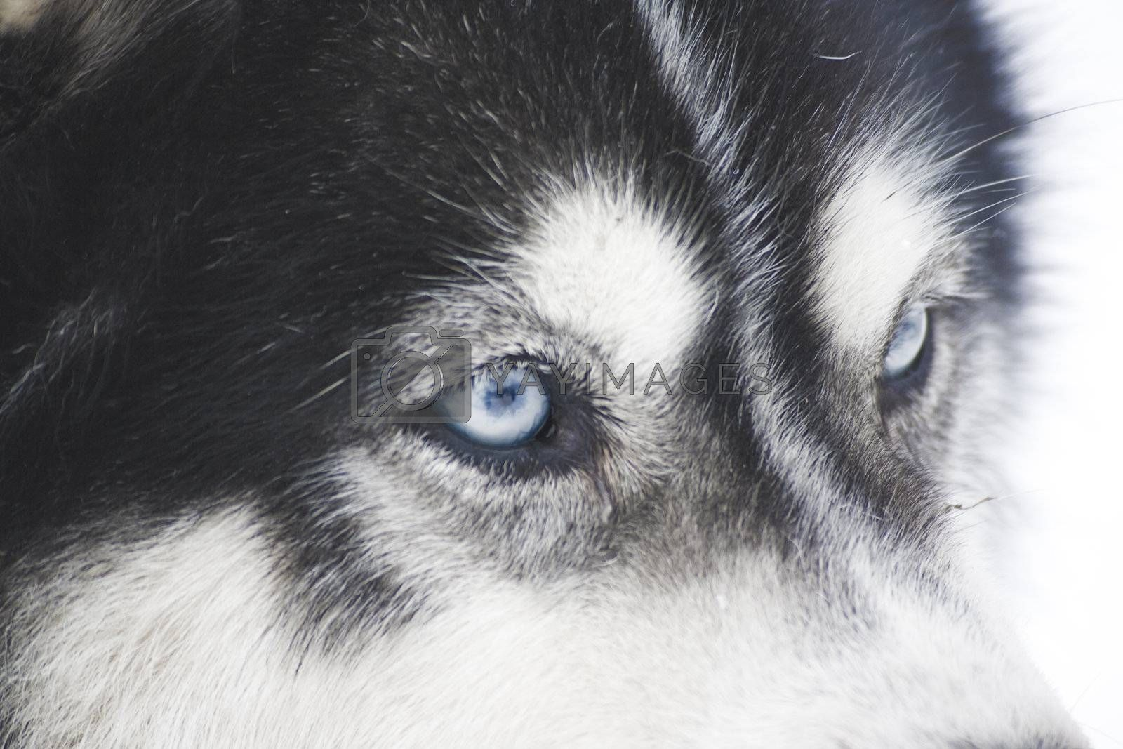closeup of huskys in the snow