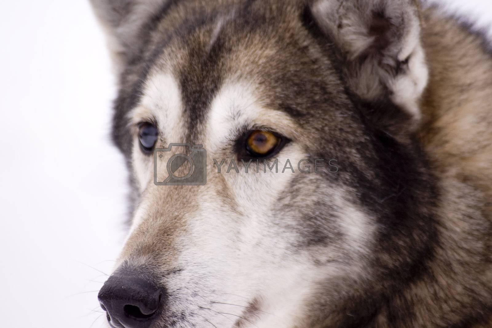 Husky by nimatypografik