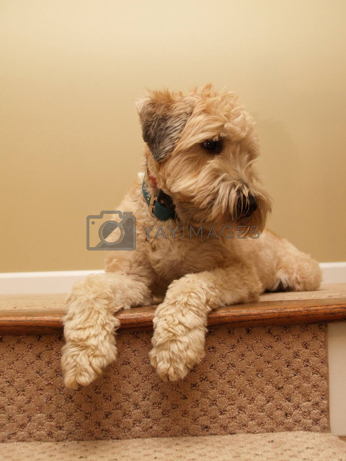 an Irish coated wheaten terrier laying by steps
