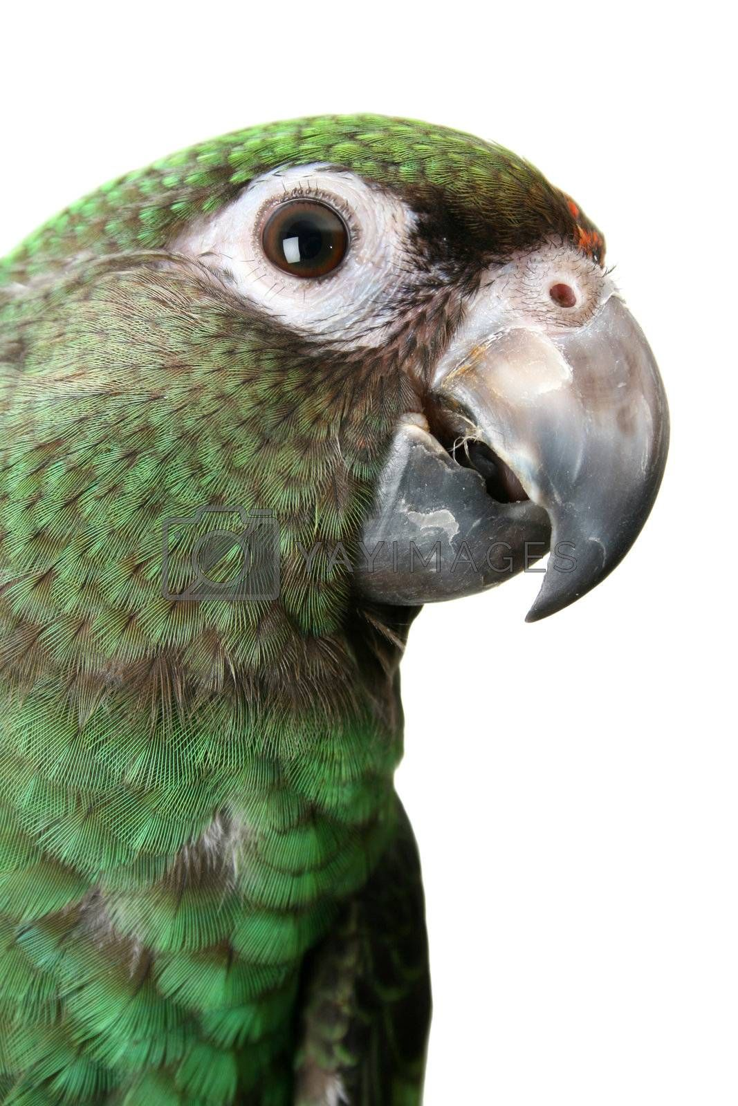6 month old Jardine parrot on a white background