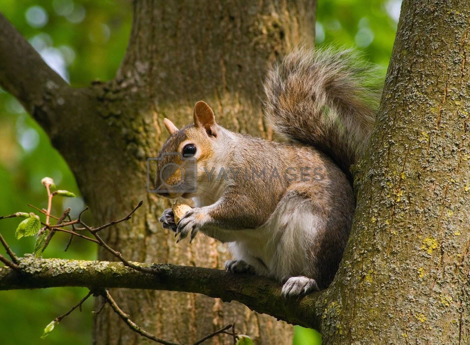 a squirrel sitting in a tree eating a monkey nut