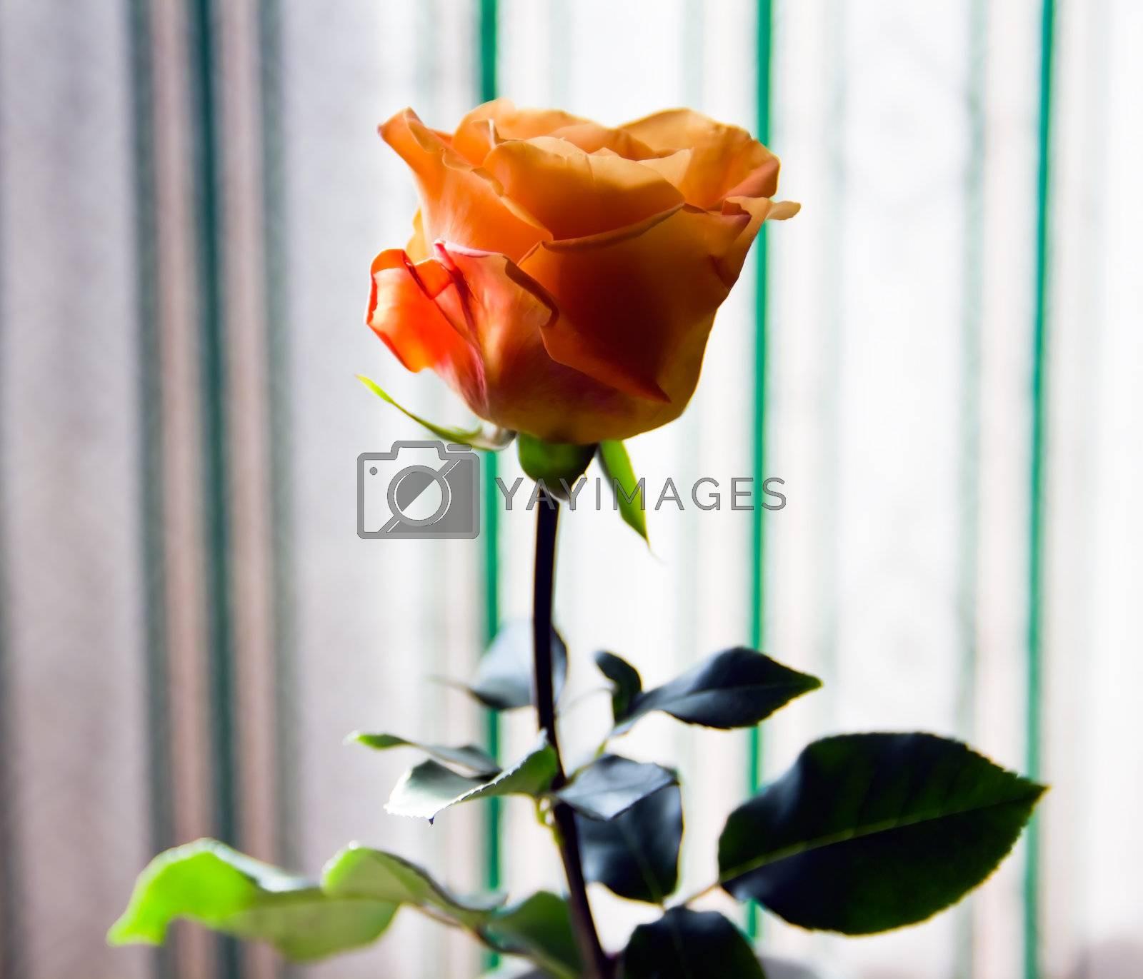orange rose in a Vase on window background