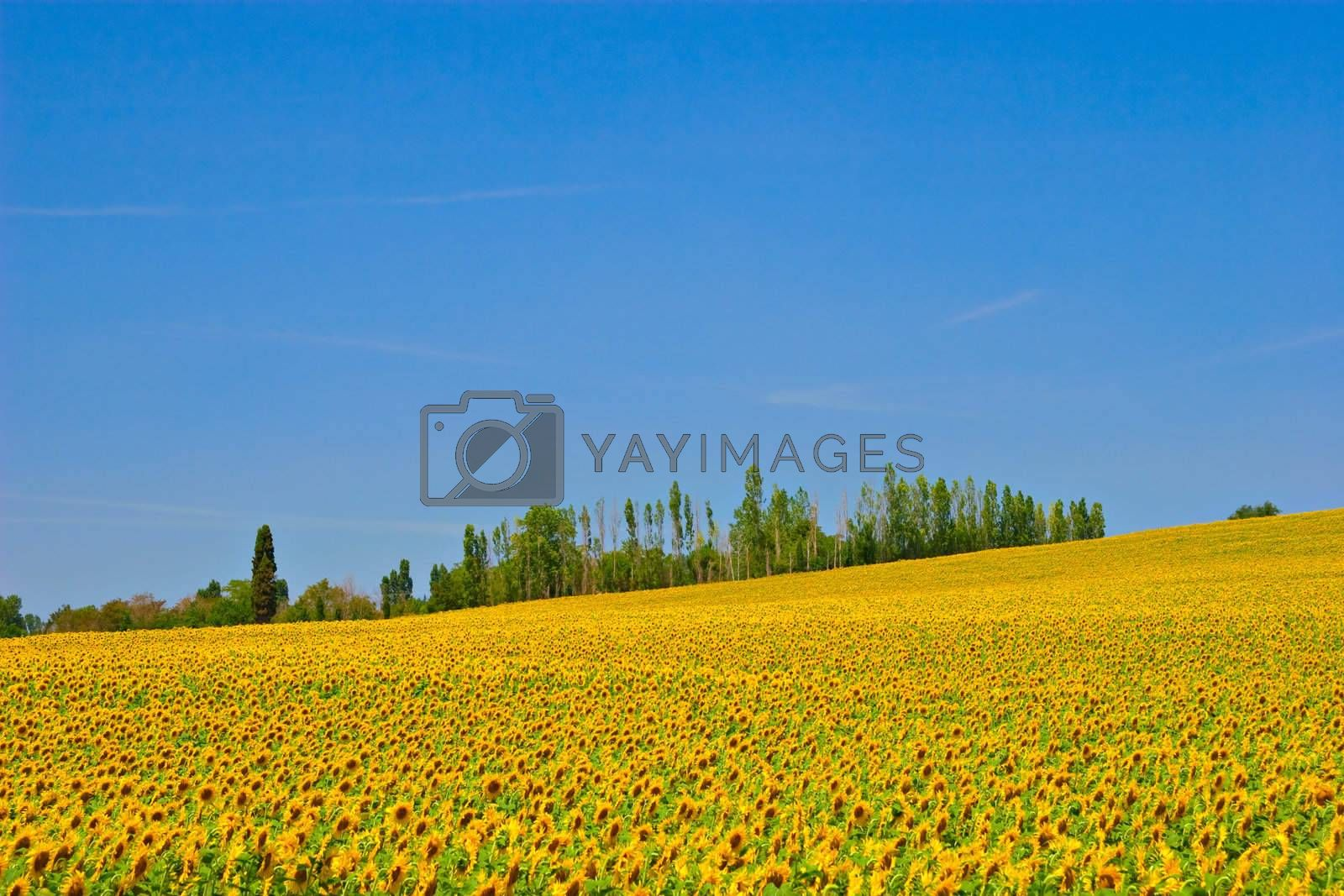 Sunflower field with bright blue sky. South of France.