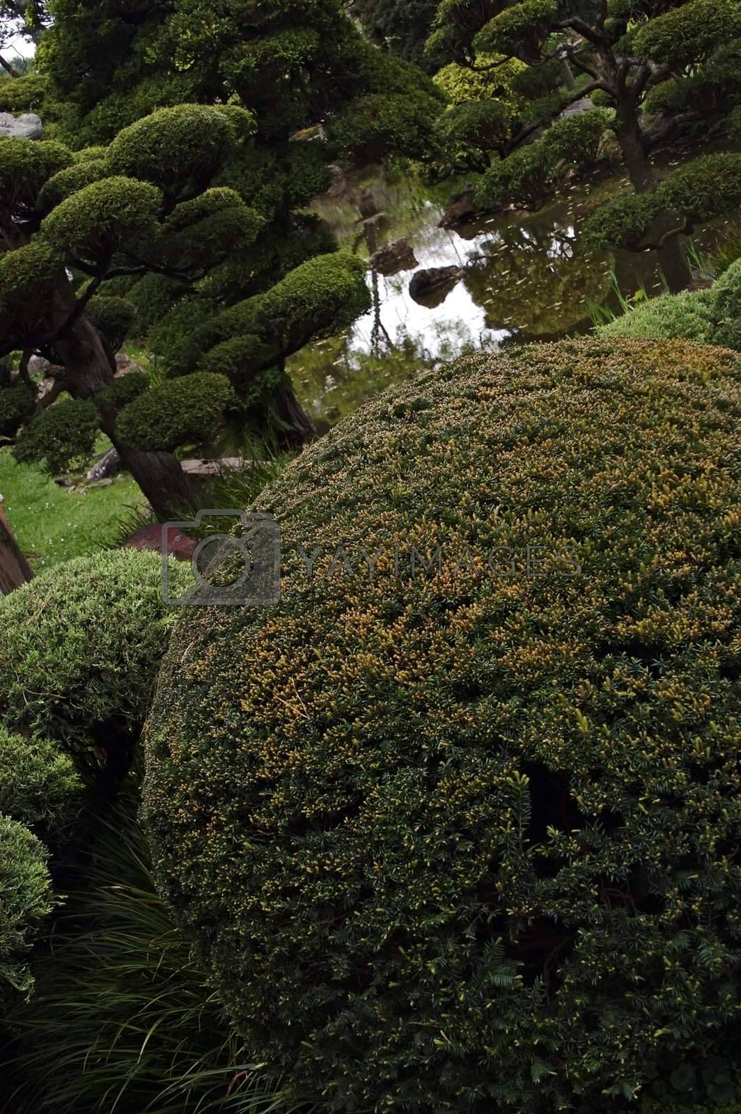 Royalty free image of Round trees in a japanese garden by janza