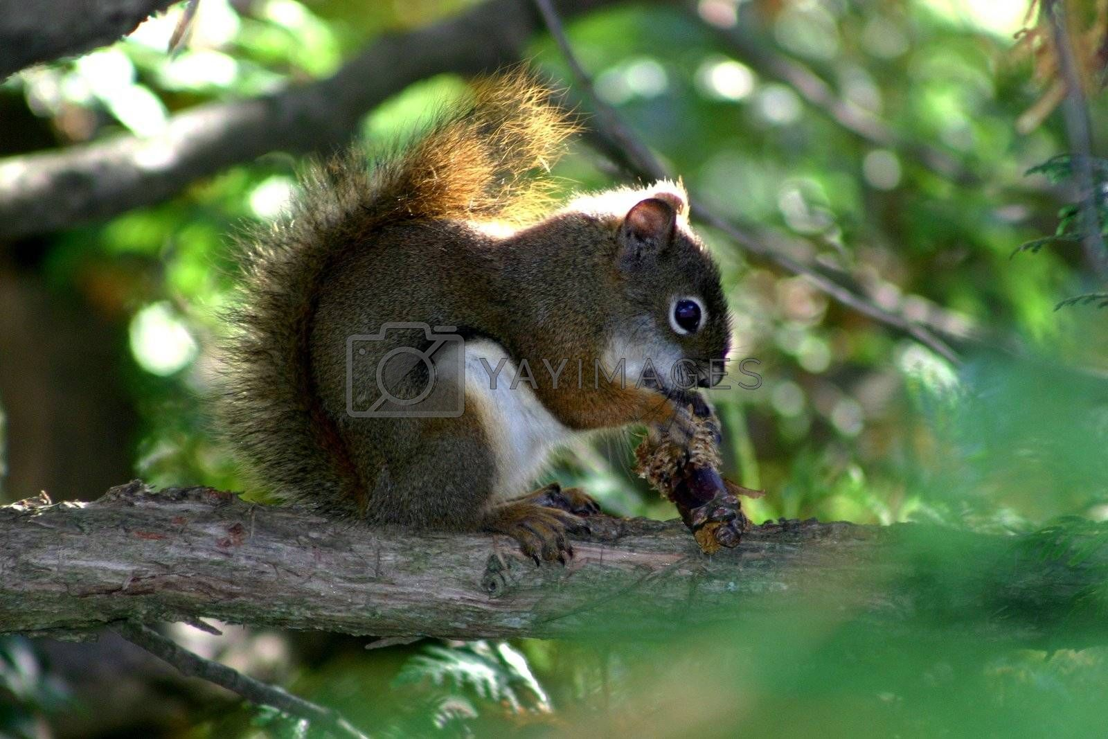 Squirrel on branch eating an acorn