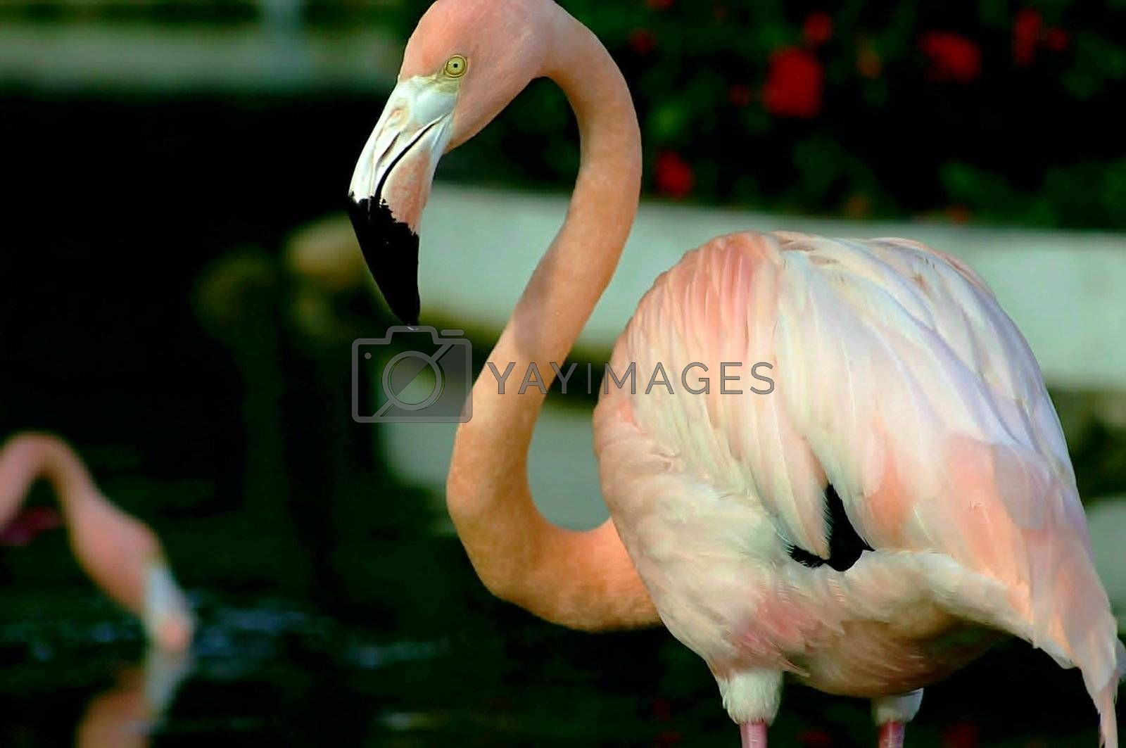 Majestic pink flamenco staring and being cautious