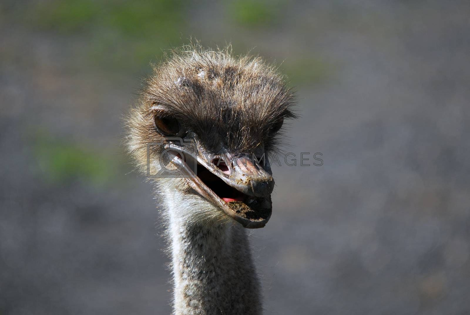 Royalty free image of Ostrich by nialat