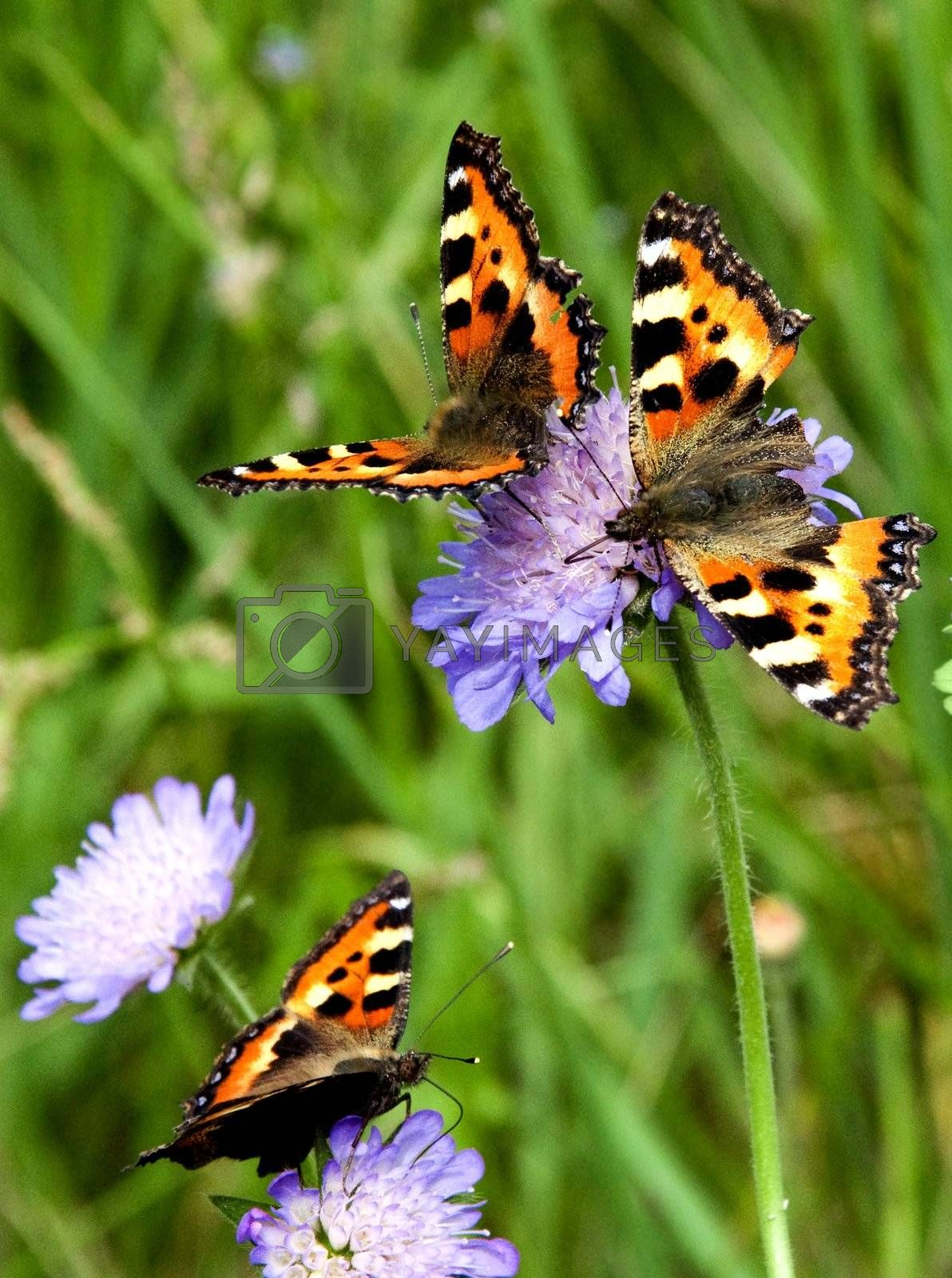 Royalty free image of Three butterflies  by ArtTom