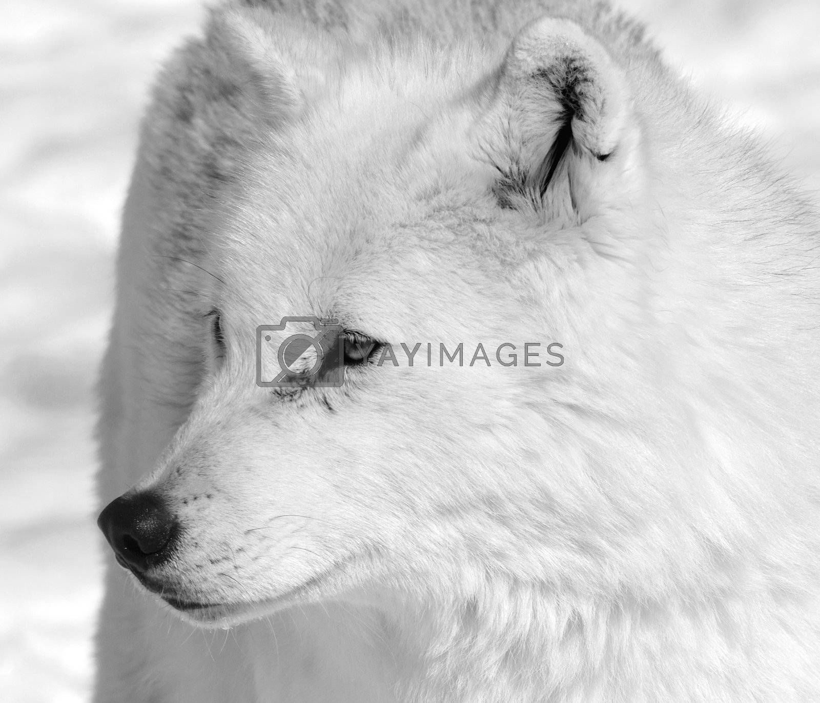Royalty free image of Arctic Wolf by nialat
