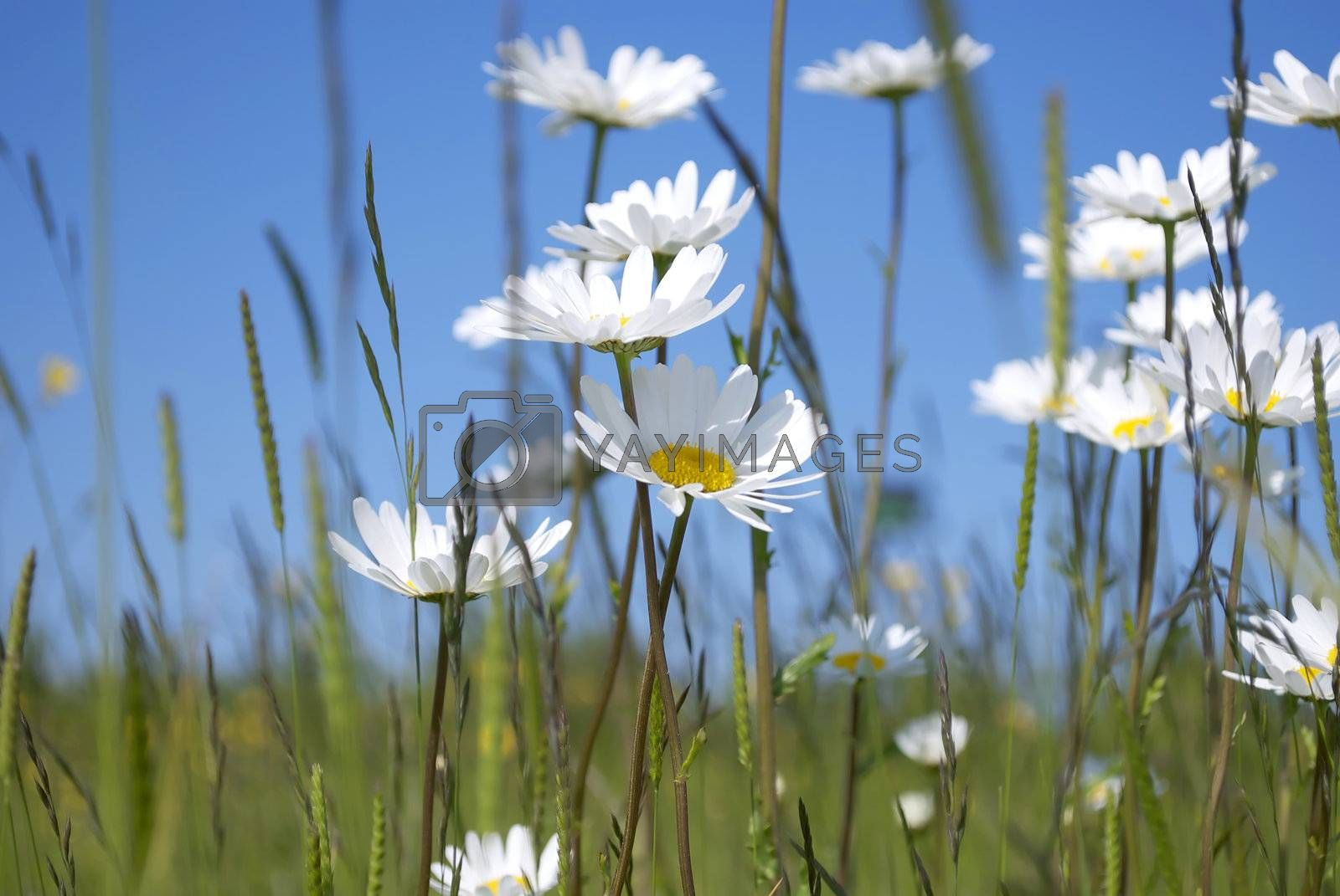 Royalty free image of Daisies by dumfstar