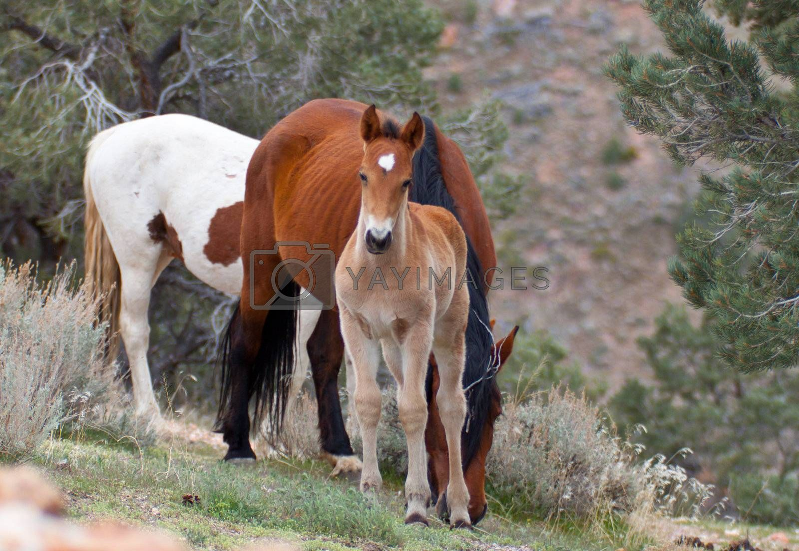 An infant wild horse.  The horse is standing close to his mom.