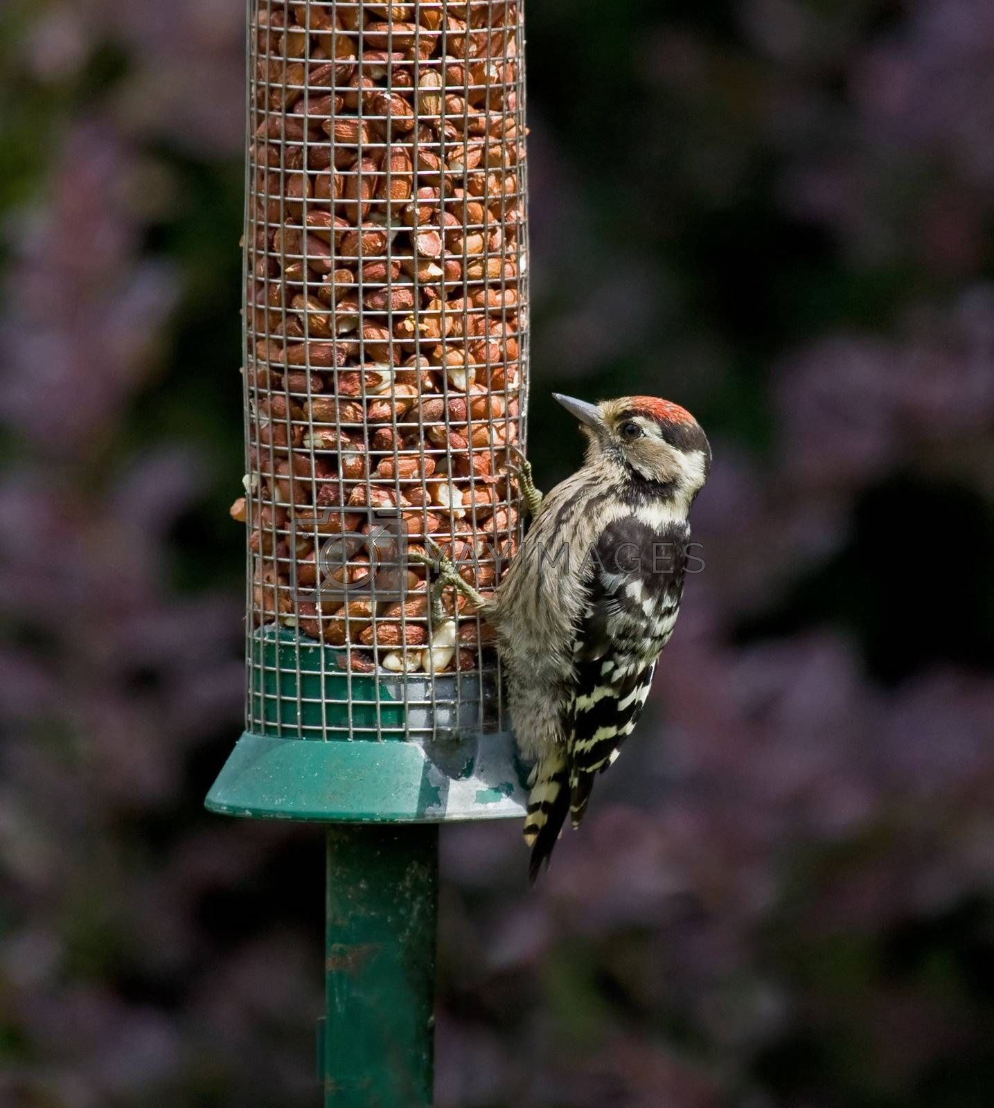 Royalty free image of Lesser Spotted Woodpecker by SueRob