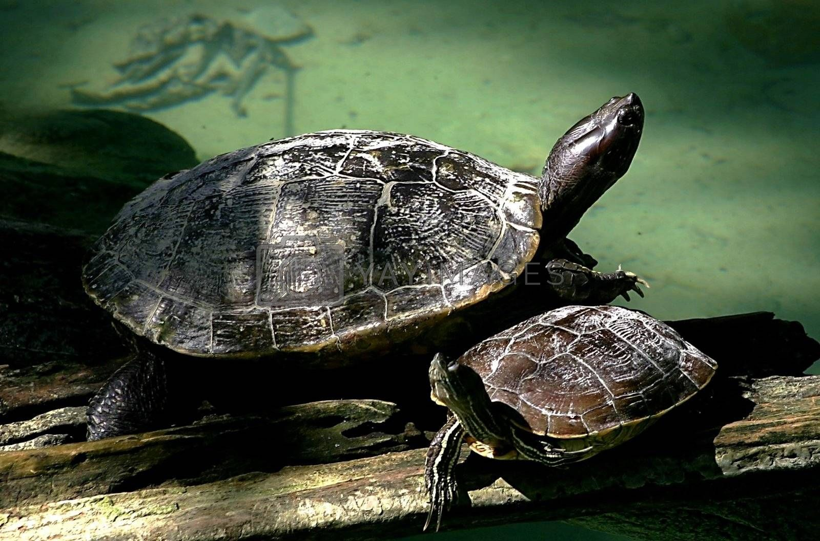Two turtles taking in the sun on a wooden branch