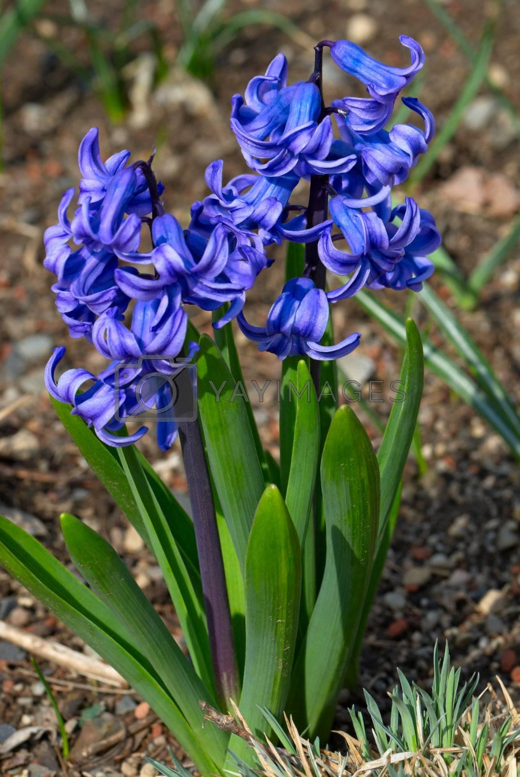 Blue hyacinths (Hyacintus orientalis) flower in bloom. Beautiful spring flora.