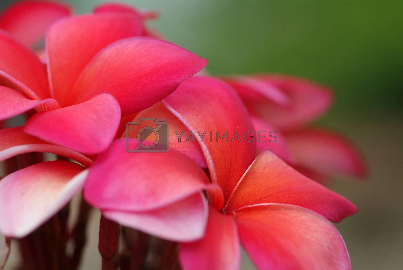 Red plumeria by epixx