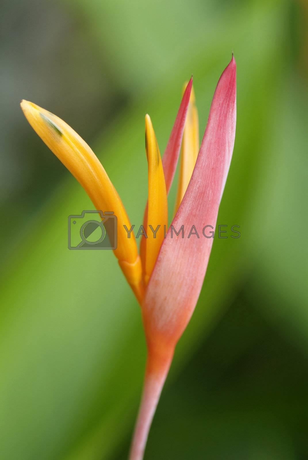 Bird of paradise flower by epixx