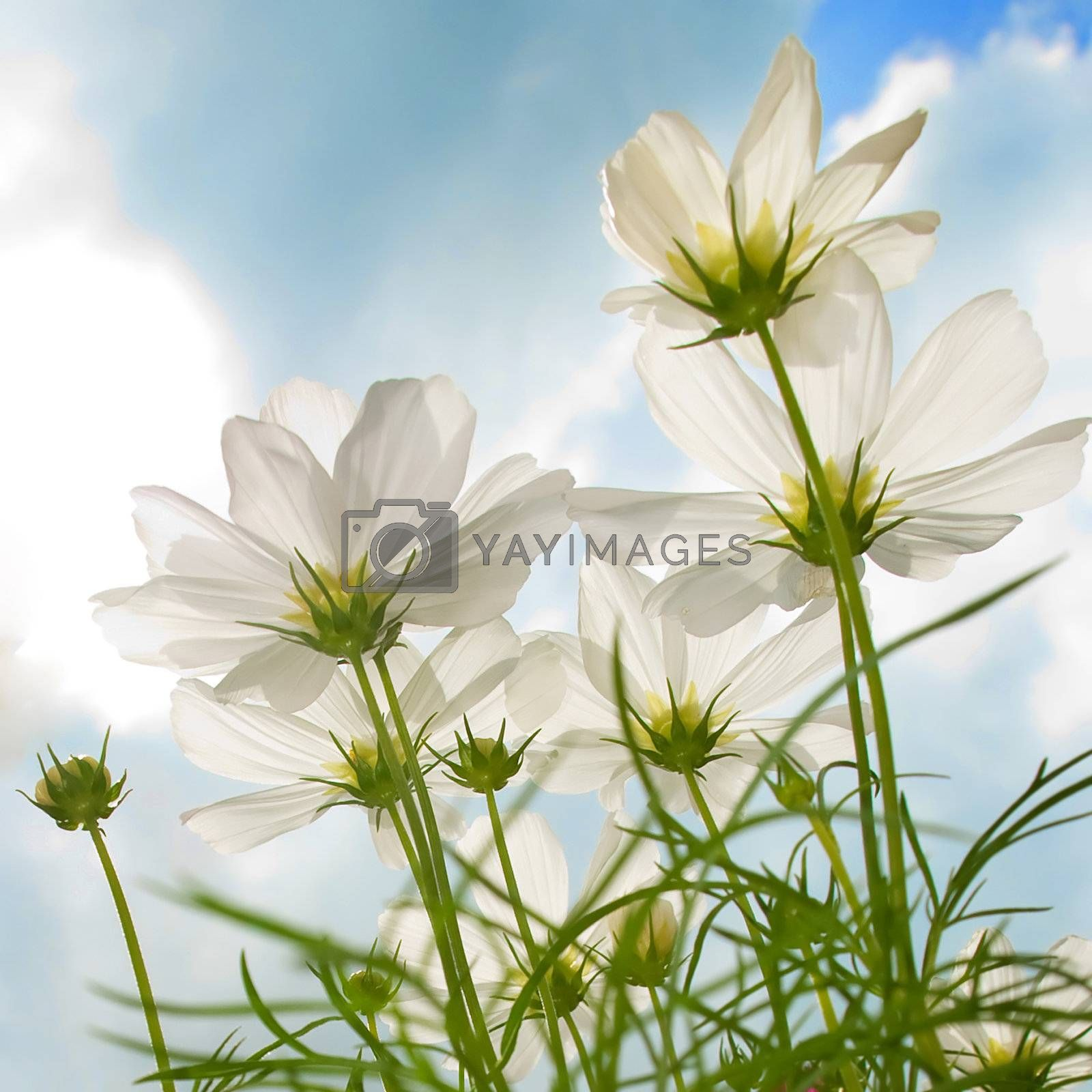 High key underside view of daisy against a bright cloudy sky