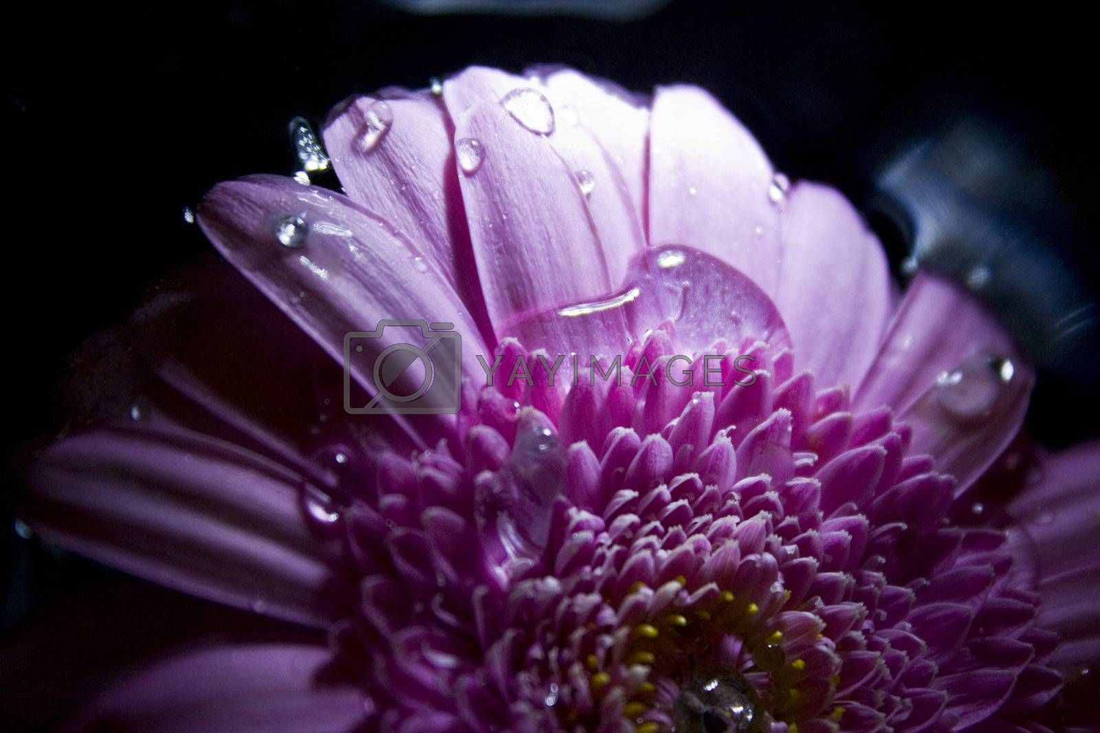 Gerbera in pink with dark background