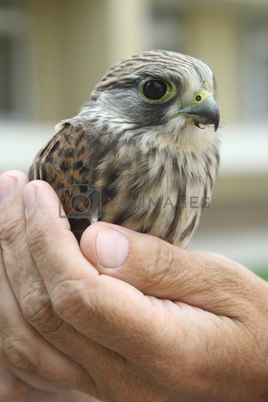 nestling of falcon is a kestrel (Falco tinnunculus) widely widespread and very useful bird