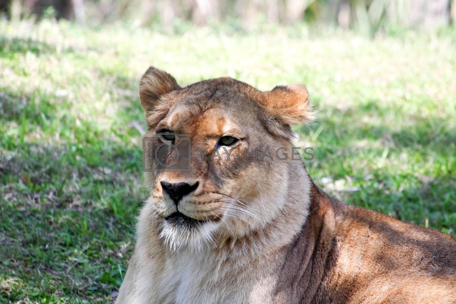 a lion closeup in a florida zoo