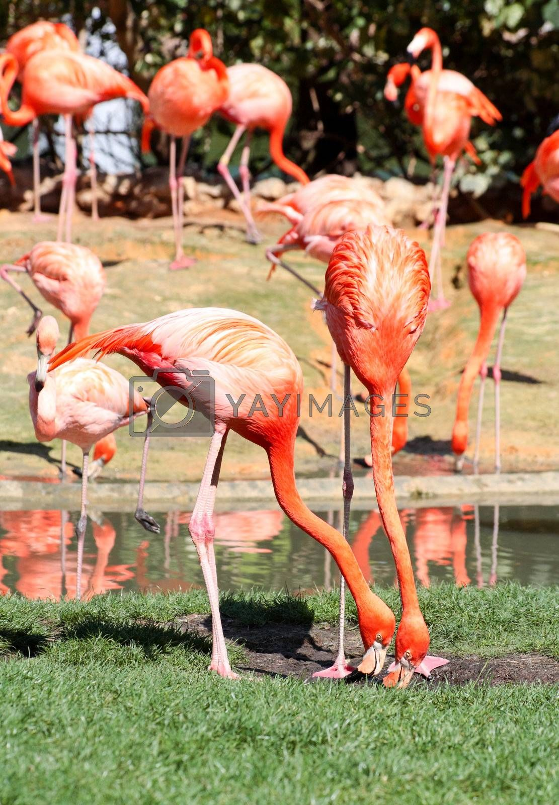 red flamingo in a park in Florida USA