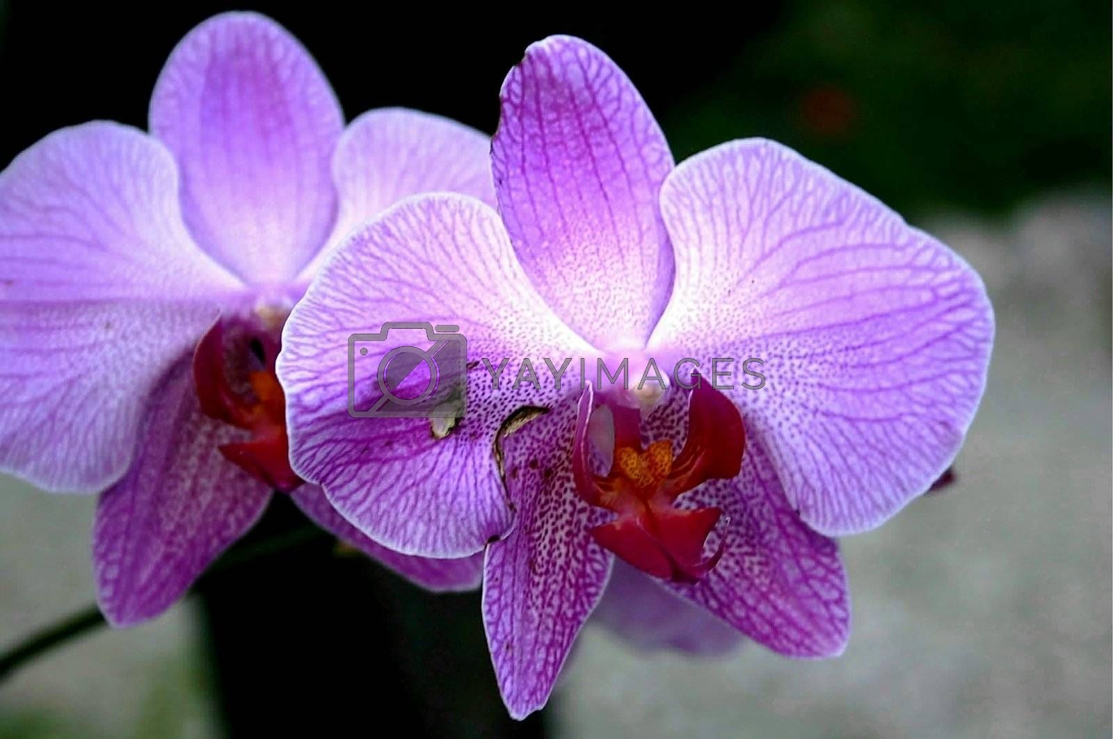 Duo of purple orchids from Caribbean garden