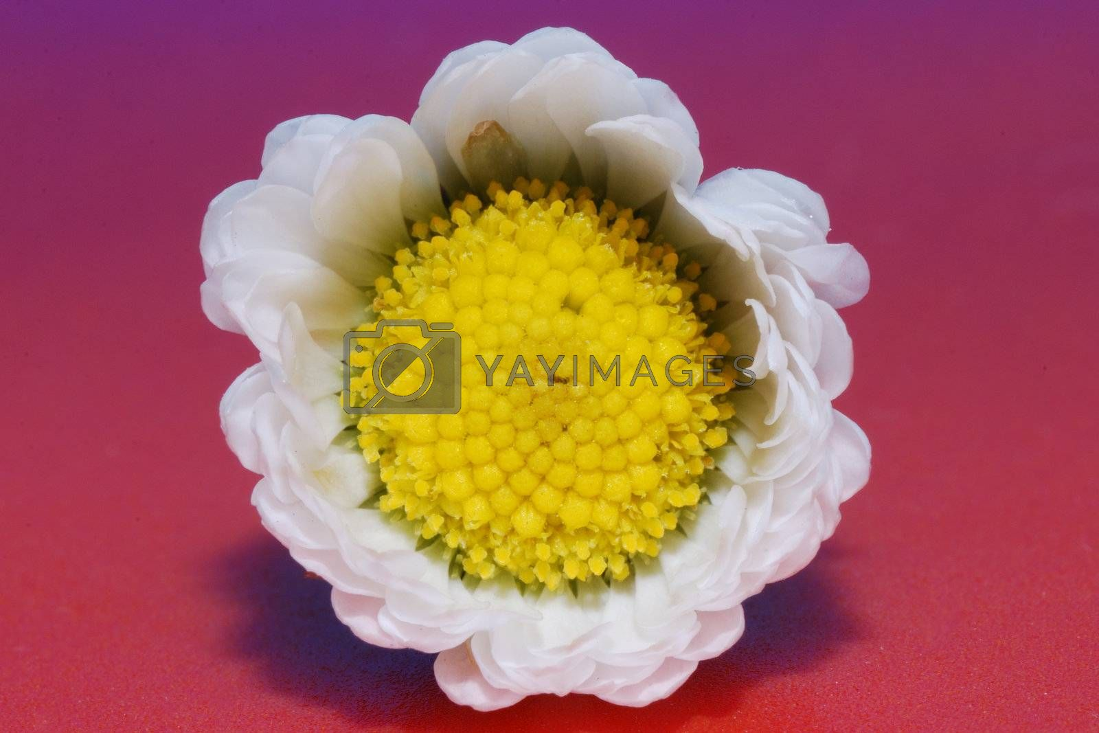 Large Small closed daisy background with red