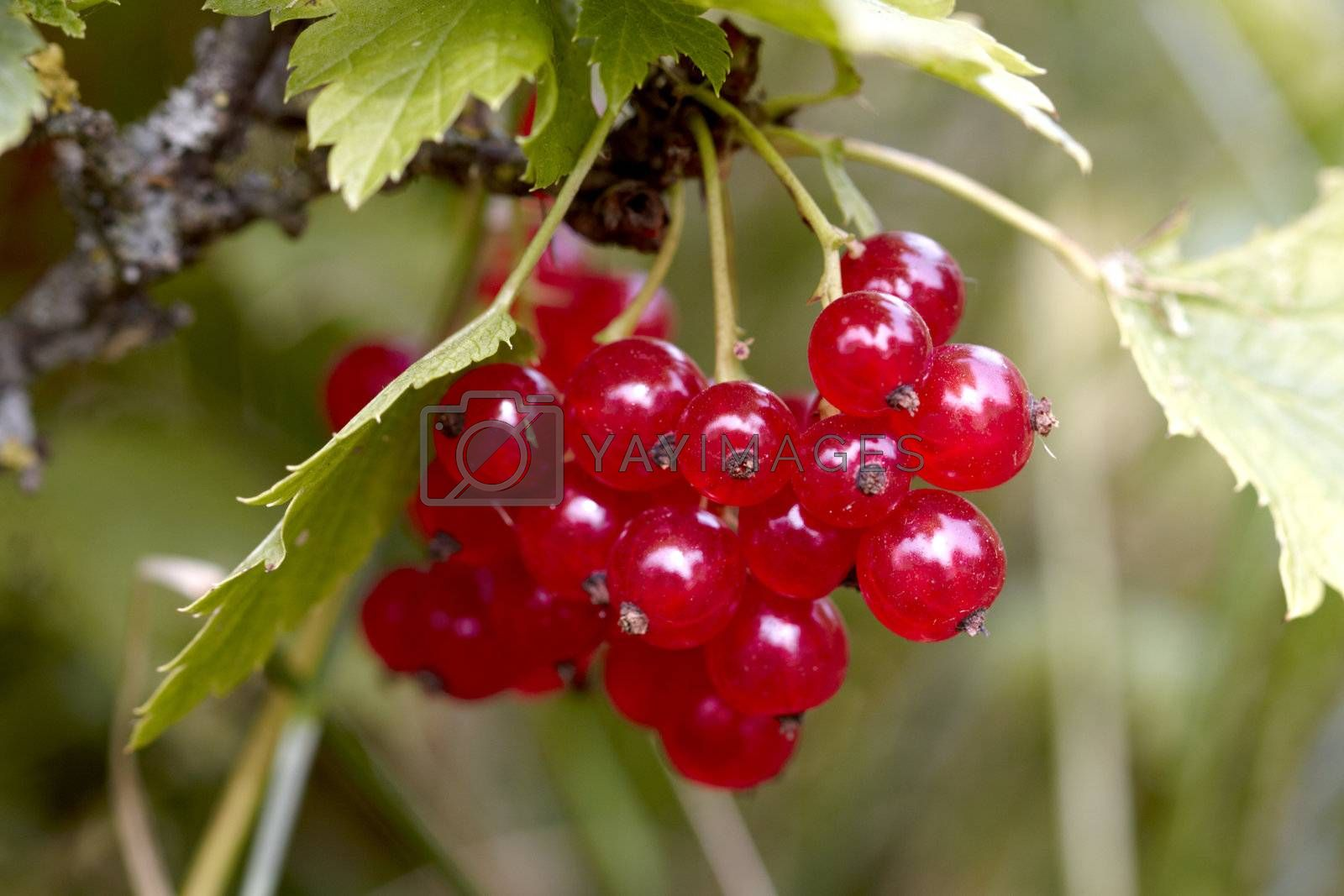 Red currant (close-up) a sunny afternoon