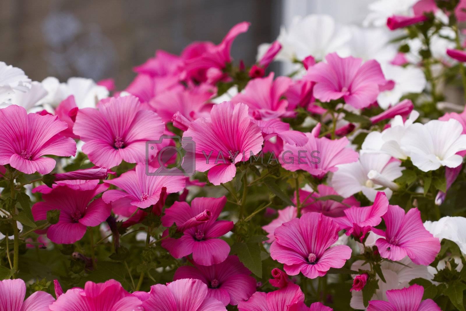 Garden White and Pink flower background. Photo taken August 5th, 2009