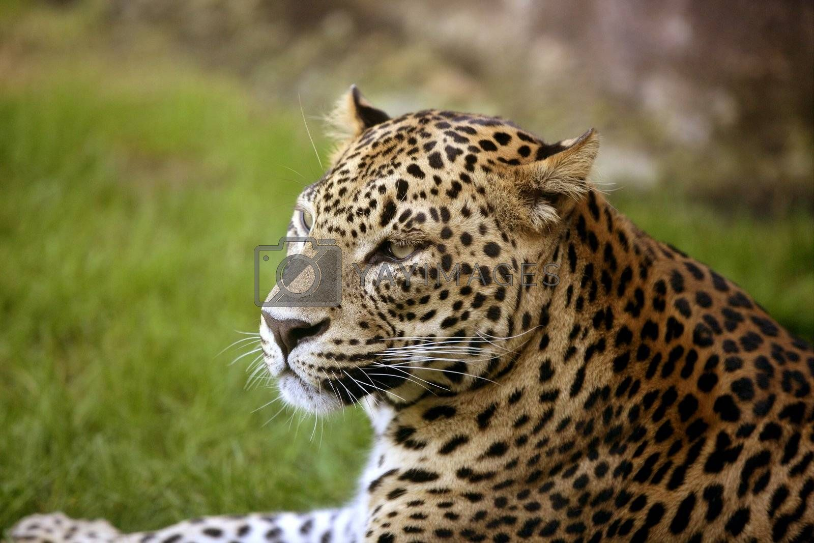 Royalty free image of African leopard on green grass by lunamarina