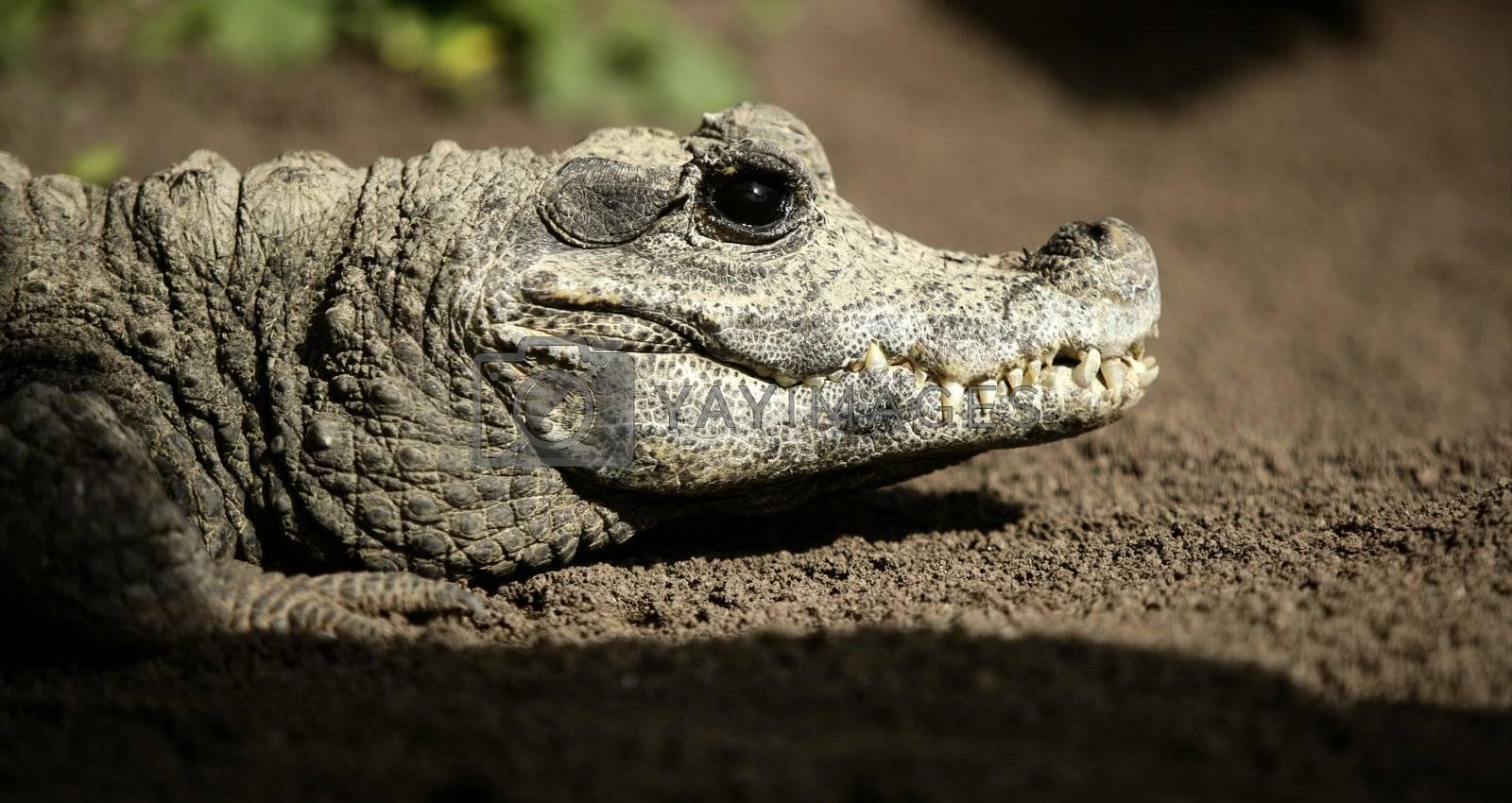 Royalty free image of Midget crocodrile from Africa, Aligators. by lunamarina