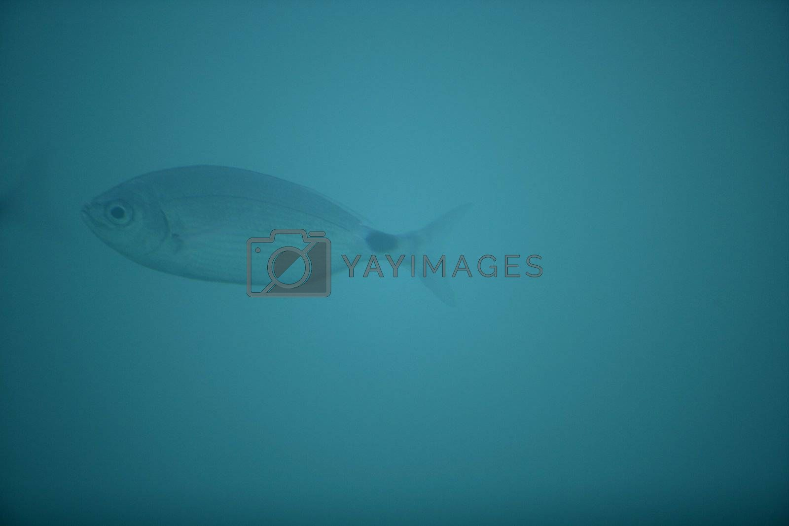 Royalty free image of Oblada fish, soft focus and turquoise water by lunamarina