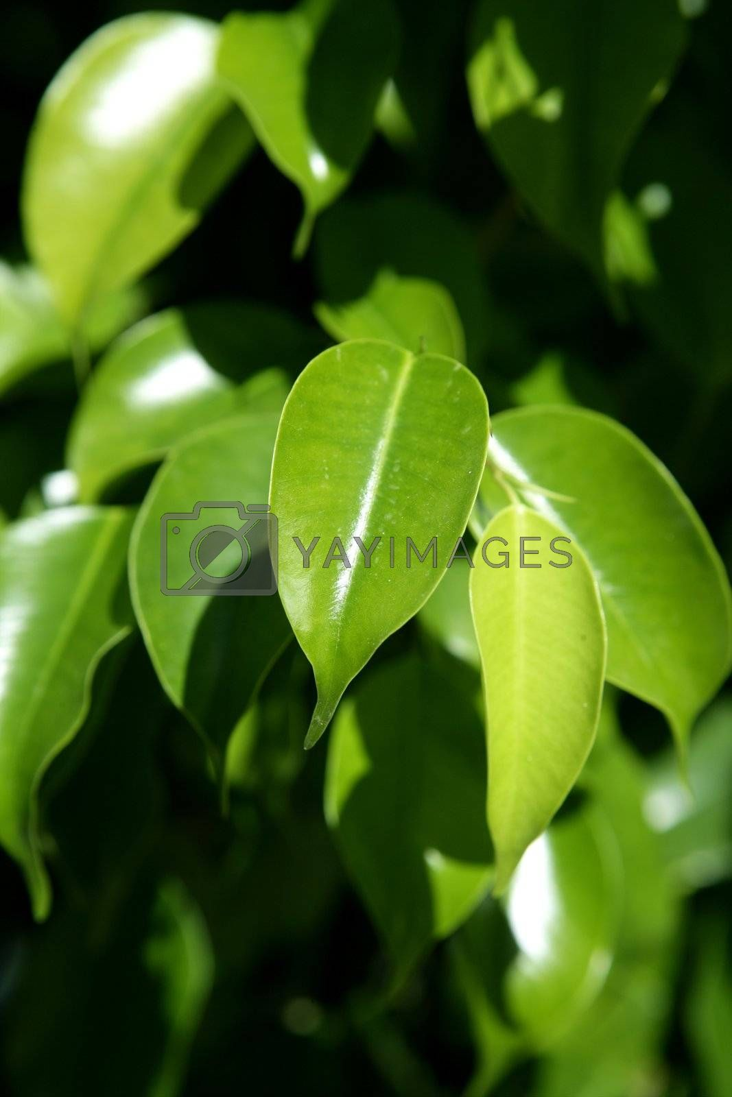 Royalty free image of Green Leaves detail in sunny day by lunamarina