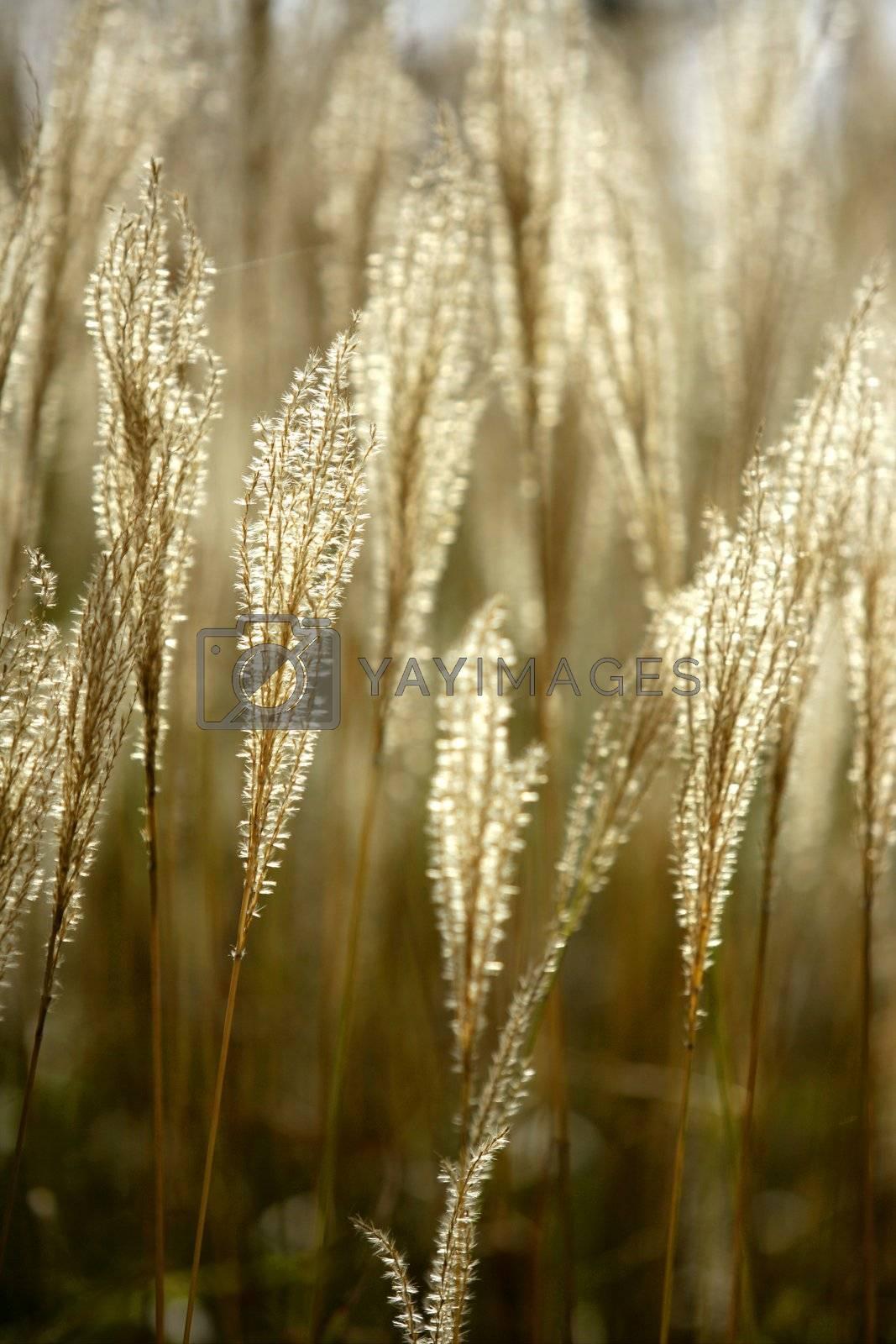 Royalty free image of Mediterranean wild golden spikes by lunamarina