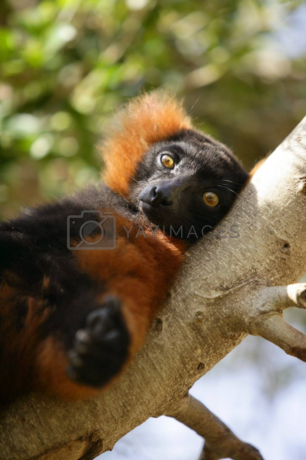 Royalty free image of Brown lemur lied on a branch by lunamarina
