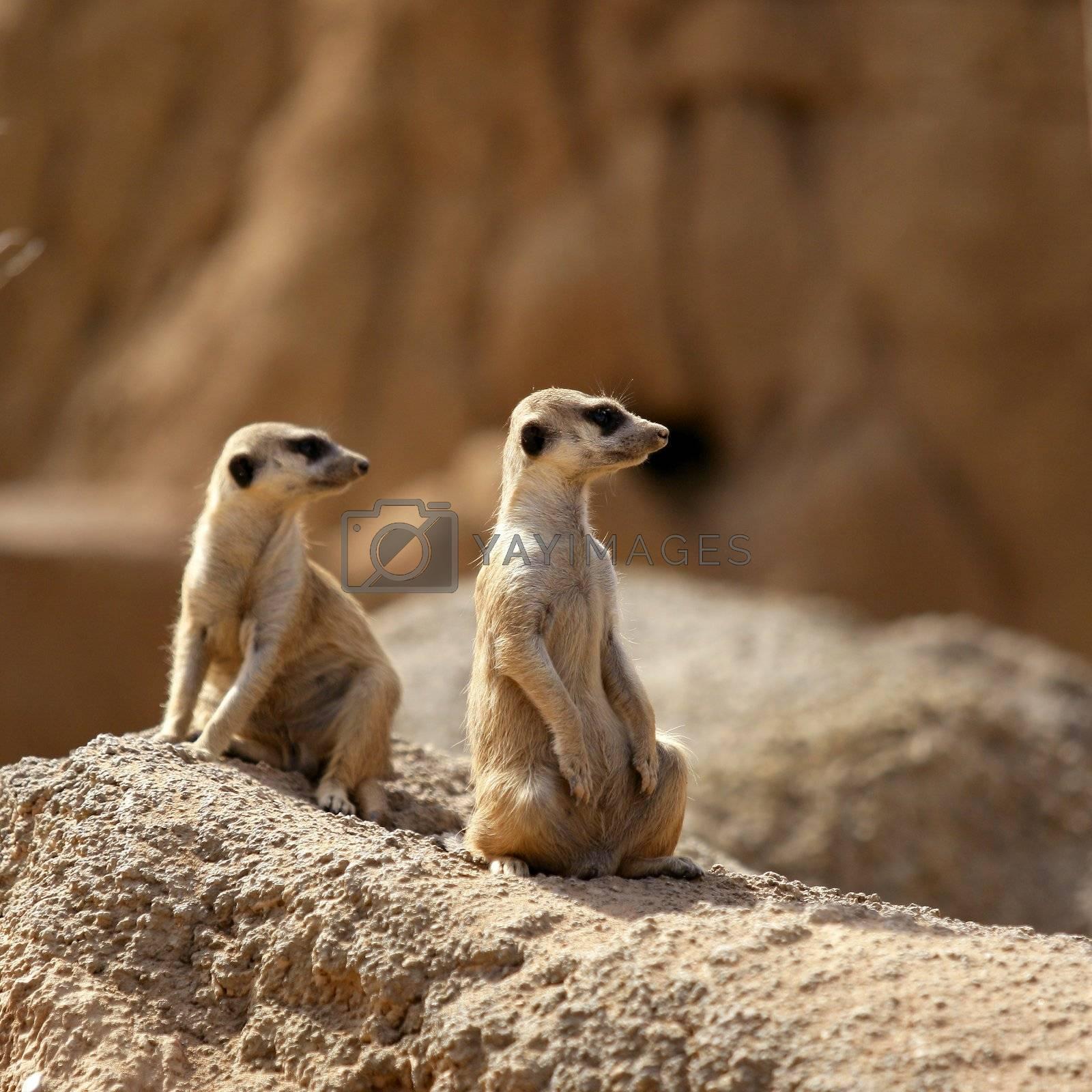 Royalty free image of Two suricata standing alert. by lunamarina